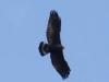 common-black-hawk