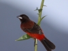 crimson-backed-tanager-female