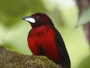 crimson-backed-tanager-male