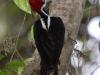 crimson-crested-woodpecker-male