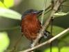 dot-winged-antwren-female