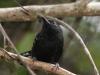 dot-winged-antwren-male