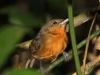 dusky-antbird-female