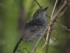 dusky-antbird