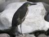 fasciated-tiger-heron