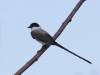 fork-tailed-flycatcher
