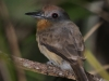 gray-cheeked-nunlet