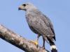gray-hawk