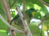 green-shrike-vireo