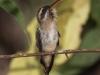 long-billed-hermit