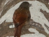 olivaceous-woodcreeper