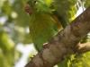 orange-chinned-parakeet