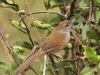 pale-breasted-spinetail