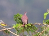 pale-vented-pigeon2