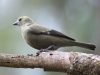 palm-tanager