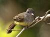 panama-flycatcher
