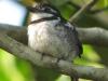 pied-puffbird3
