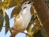 plain-wren
