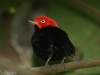 red-capped-manakin-male