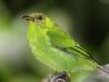 red-legged-honeycreeper-female