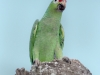 red-lored-parrot