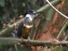 ringed-kingfisher