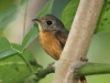 ruddy-tailed-flycatcher