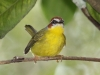 rufous-capped-warbler