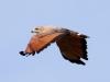 savannah-hawk