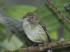 scale-crested-pygmy-tyrant