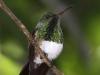 snowy-bellied-hummingbird