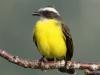 social-flycatcher