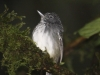 spot-crowned-antvireo