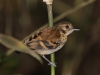 spotted-antbird-female