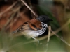 spotted-antbird-male