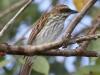 streaked-flycatcher
