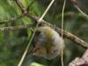 tawny-capped-euphonia-female