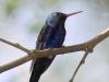violet-bellied-hummingbird