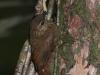 wedge-billed-woodcreeper