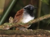 white-bellied-antbird