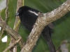 white-lined-tanager