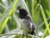 yellow-bellied-seedeater
