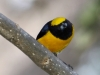 yellow-crowned-euphonia