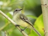 yellow-margined-flycatcher