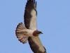 004-swainsons-hawk