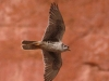 013-prairie-falcon-flight