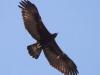 100-golden-eagle