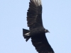 Black vulture soaring