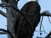 bald-eagle2