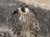 immature-peregrine-copy